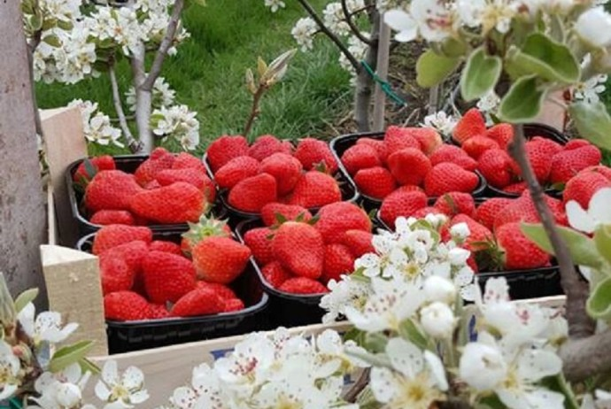 aardbeien 201622