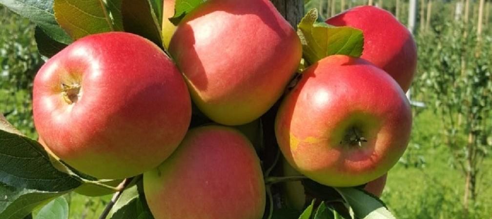 Nieuwe oogst Delbare appels