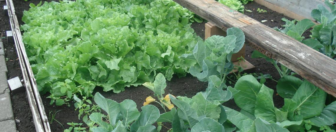 Oud Hollandse groenten, vers van de tuin!